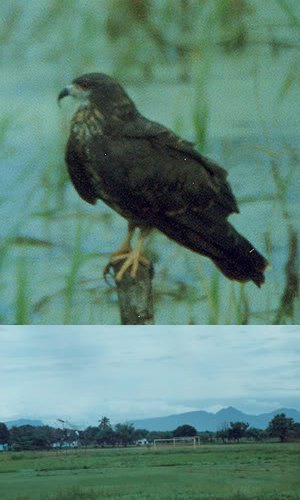 snail kite of veracruz