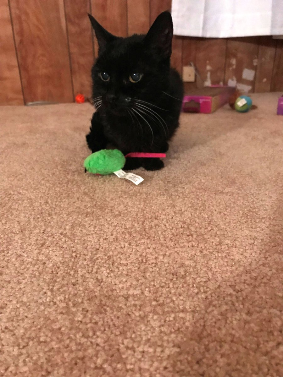 f349cf5c65 ... It's very cute Here are some #Caturday pics of Smudge with her favorite  toys She loves feathers! Again I've captured her white whiskers and  'beauty' ...