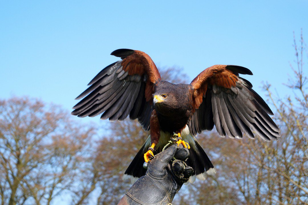 The birds of prey are busy practicing their best display, ready for you to visit them very soon! 🦅 Have you met Scooby, Percil or Rodney before? #FarFromOrdinary #BelvoirCastle #EngineYard #BirdsOfPrey #Castle #History