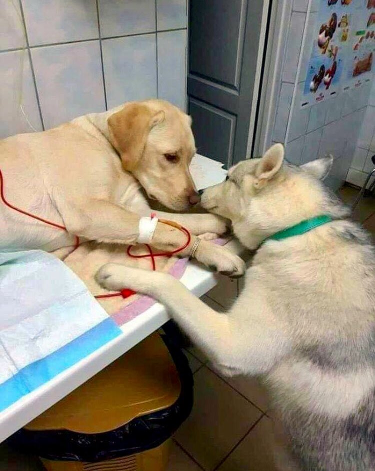 So my friend's vet has a comfort-dog assistant that helps sick patients know that everything will be alright and this is really all you need to see today ❤️🐾