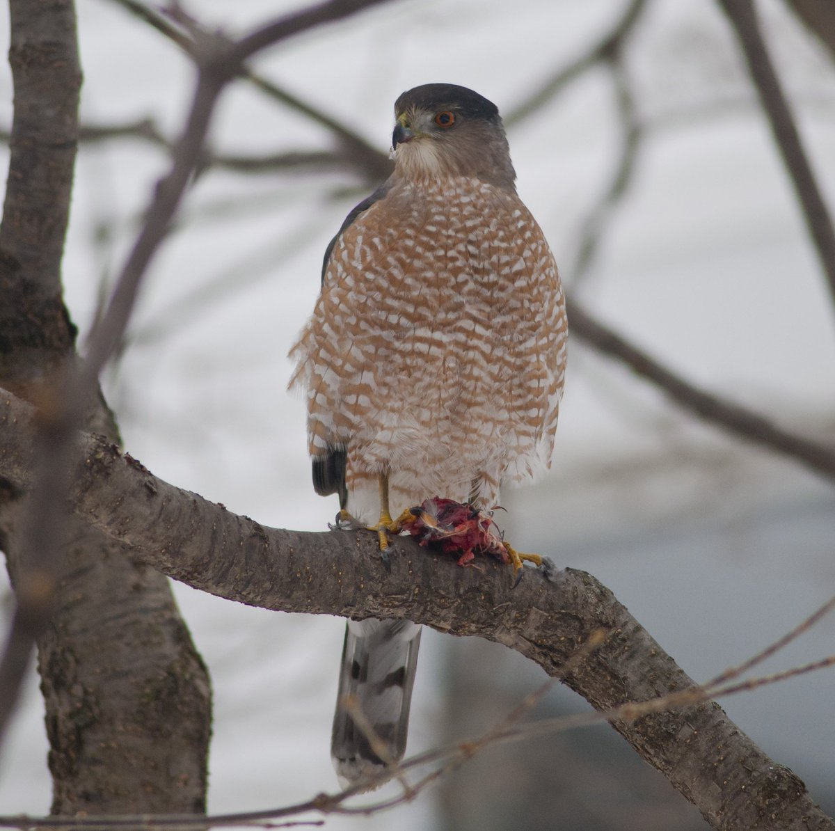 Whats For Lunch Asked Coopers Hawk >> Dr Katie Labarbera On Twitter A Robin And A Cooper S Hawk