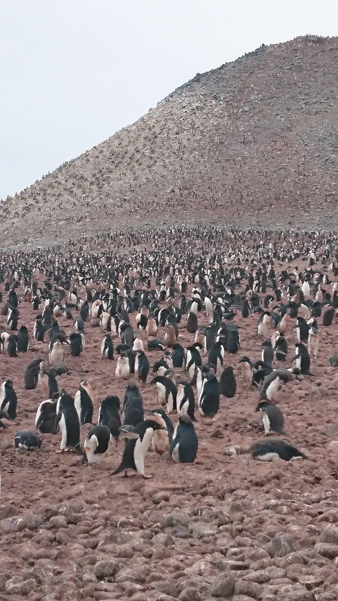行く前の私「ペンギンいるといいなぁ、何羽いるのかなぁ」   ↓   行った後の私「」 #yorimoi #よりもい #南極