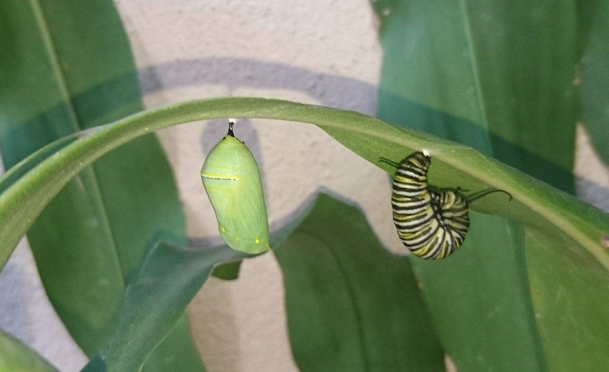 @SSVphotographer A mi me visitan cada año las mariposas monarca. Tan hermosas y tan frágiles https://t.co/RitPx14Wgx