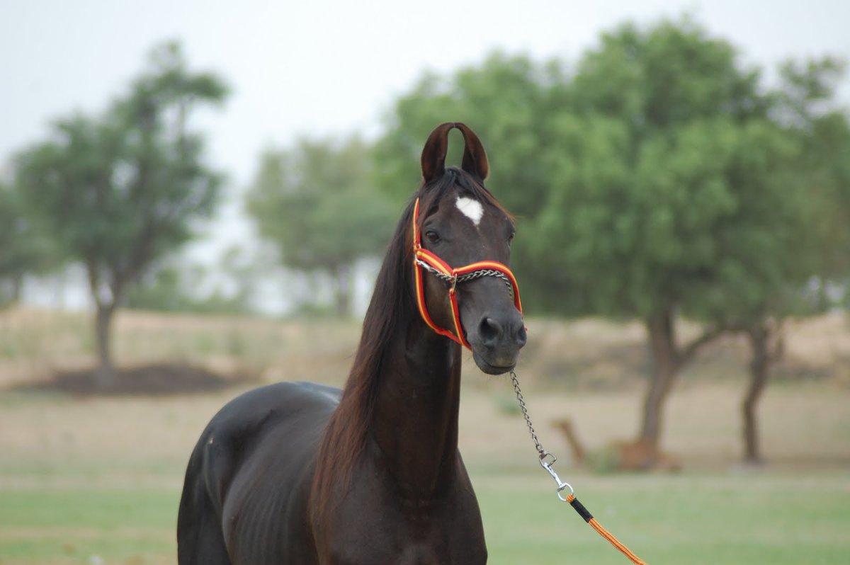 Картинки лошадей марвари породы