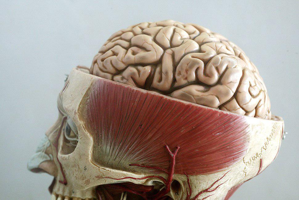 Как устроен мозг человека фото