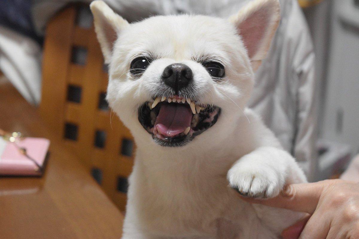 Resultado de imagen para 犬 chihuahua  怒っている