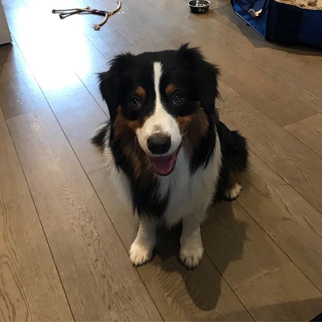 Started working with this cheeky monkey on a behaviour modification programme today 💕🐶💕 #canitakeyouhome #australianshepherd #cheekymonkey #puppytraining #londondogs #excellent_dogs #positivetraining #aussieshepherd #dogs #dogsofinstagram #lovemyjob http://bit.ly/2MQopWT