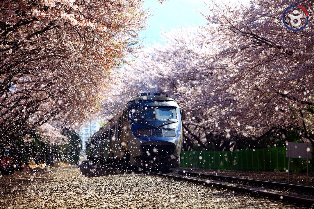 매서운 바람으로 시작된 아침, 빛나는 벚꽃을 기다립니다🌸  #벚꽃_짤 #소장각 #벚꽃 #같이_보러갈사람_소환 💛 #bgm #BTS #봄날