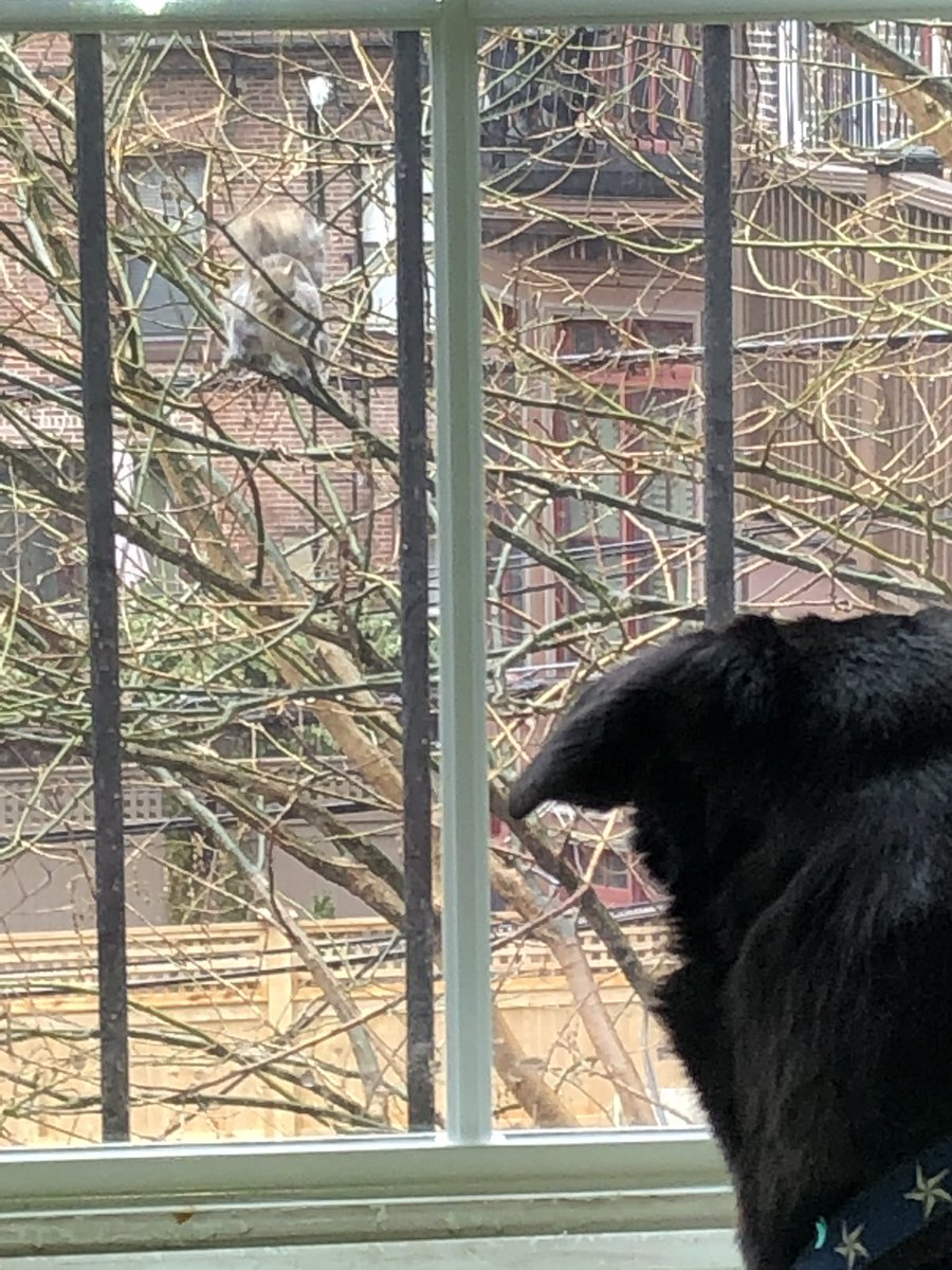 Taunting Squirrel: Come out and play! Lana: Come in for breakfast! #squirrelstew #meansquirrels #bordercollie #borderlab #rescuedog #overlookedblackdogs