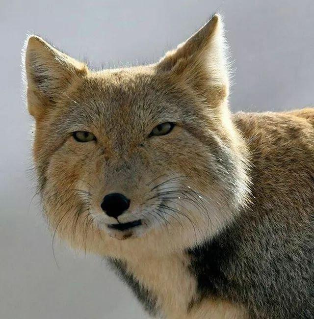 тибетская лисица фото выбор нестандартной