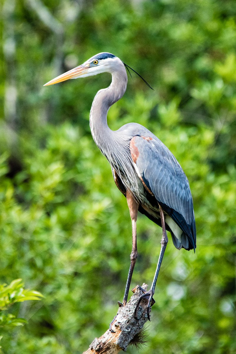 A great blue #Heron at #SixMileCypressSloughPreserve in southwest #Florida  #photooftheday #travelphotography #travel #travelphotos #tourism #travelgram #trover #picoftheday #instatravel #traveling #mytravelgram #travelingram #igtravel #traveler #birds