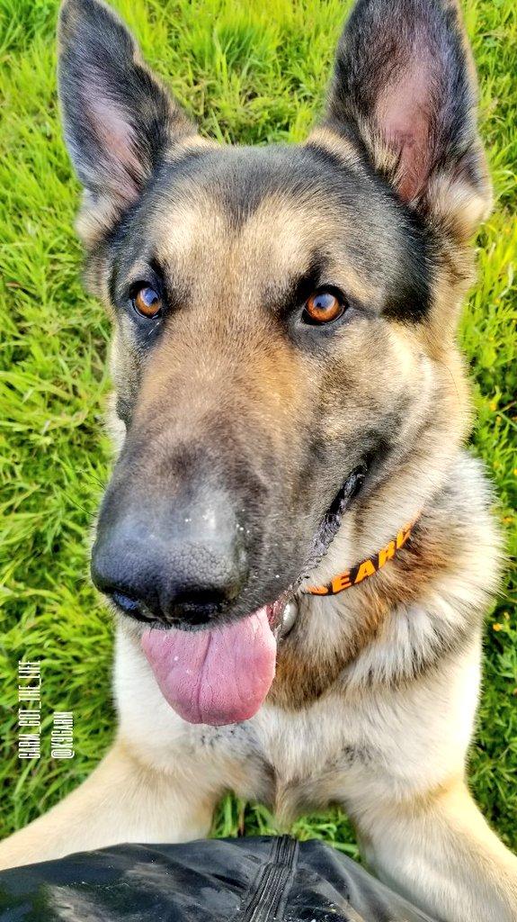 #Moosedog hugs!  #K9Garm #SARK9 #dogsoftwitter #dog #dogs #germanshepherd #gsd<br>http://pic.twitter.com/tkDkZoXO9Y