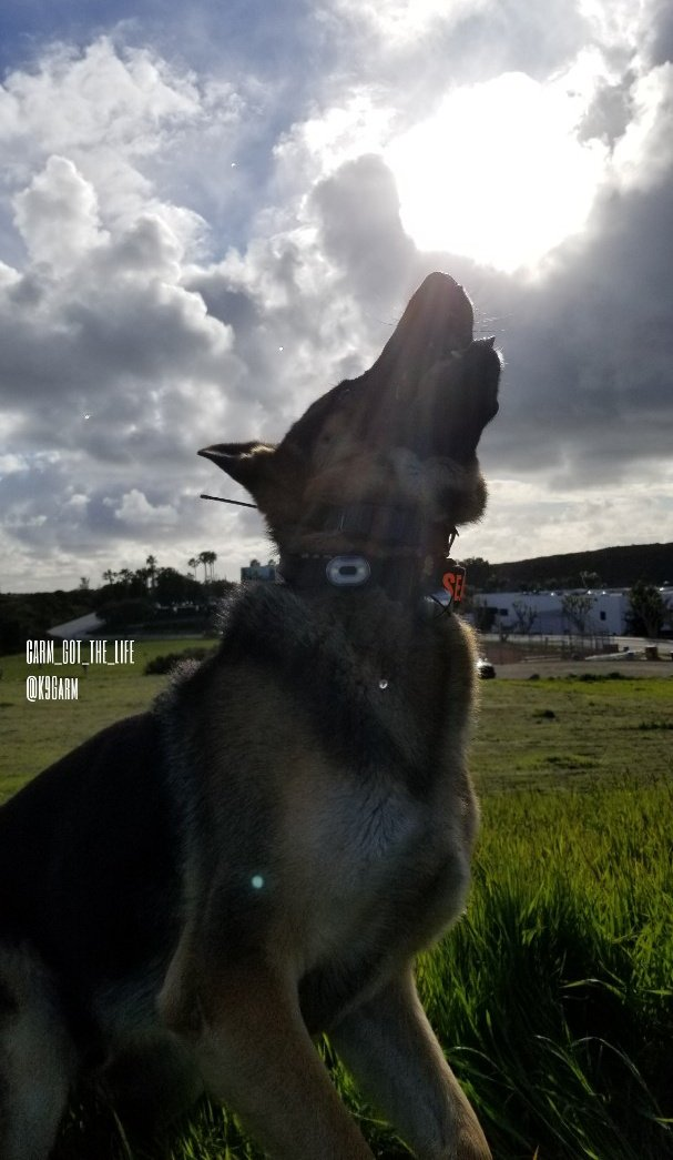 Another awesome rainy evening, the sun poked through here and there but mostly just a cold and rainy day  #K9Garm #SARK9 #dogsoftwitter #dog #dogs #germanshepherd #gsd #moosedog<br>http://pic.twitter.com/g955MXw4J2