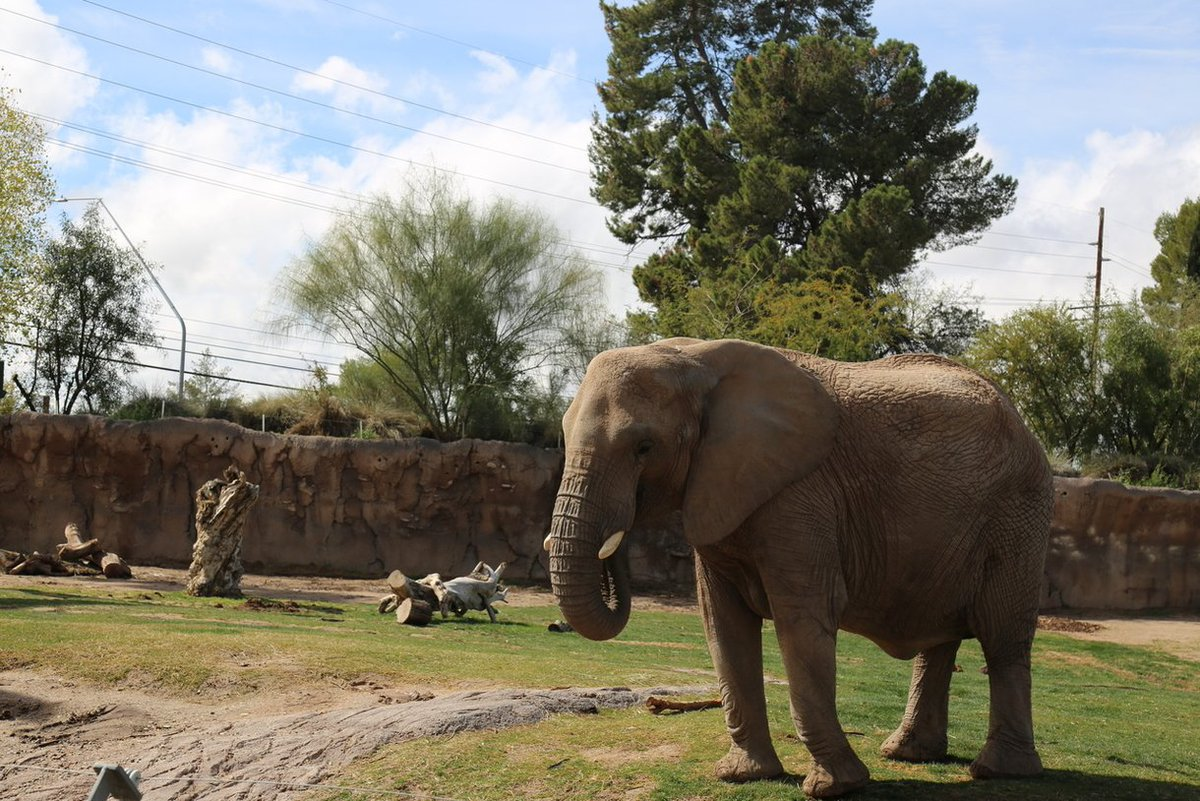 How exciting! The @ReidParkZoo in Tucson says one of its African elephants, Semba, is pregnant.  This will be Semba's fourth calf. She is expected to deliver the calf next year.
