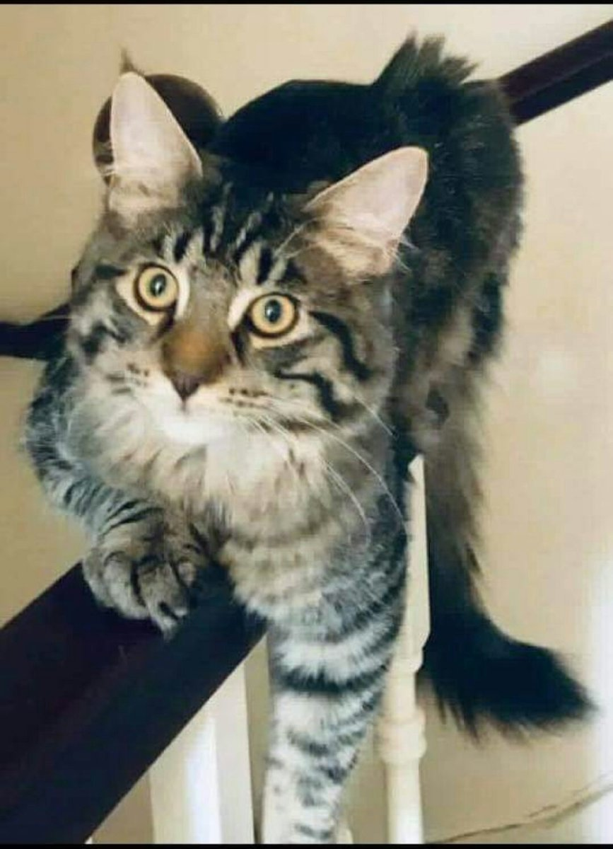 #kingshill #westmalling #lostcat.  Hi please can people keep an eye open for this 5 month old Mainecoon kitten. He got out last night and owner  is devastated (to put mildly) please check sheds etc or get in touch if he has come to live at yours! Thanks