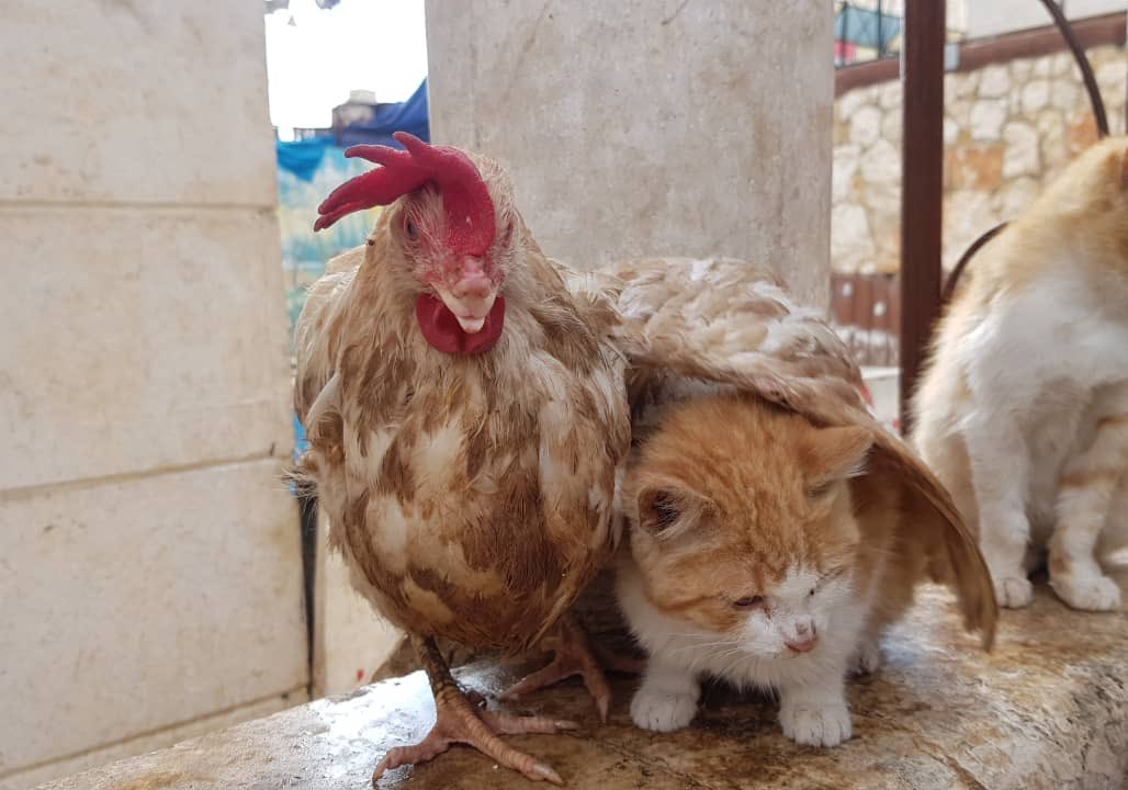 A new love story and friendship between Ludovica and the Ginger Cat 🥰 @theAleppoCatman #SyrianAnimals #Aleppo