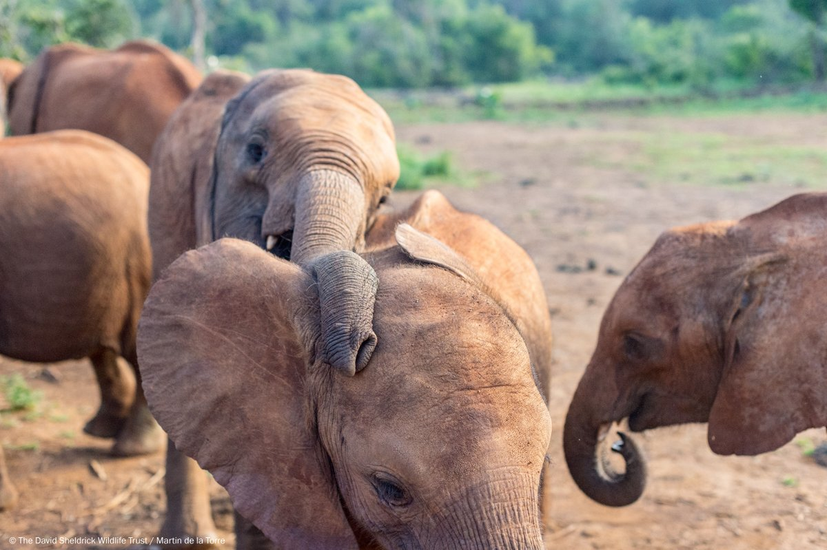 We all need a friend to lean on every once in a while, even elephants! Learn how you can support the orphaned elephants in our care at: http://sheldrickwildlifetrust.org/foster