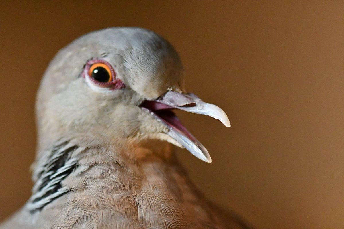 悪い顔してる😏 #鳩