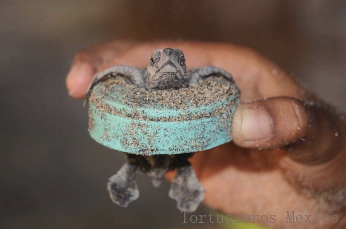 Our convenience shouldn't come at the expense of our planet. A poor baby sea turtle stuck in a plastic cap. Thankfully, a volunteer was able to help. Photo: Tortugueros Mexico. #plasticpollution