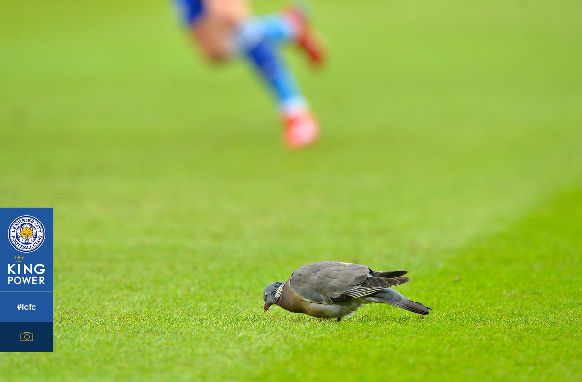 The Leicester City pigeon 🐦💙  #LoveYourPetDay