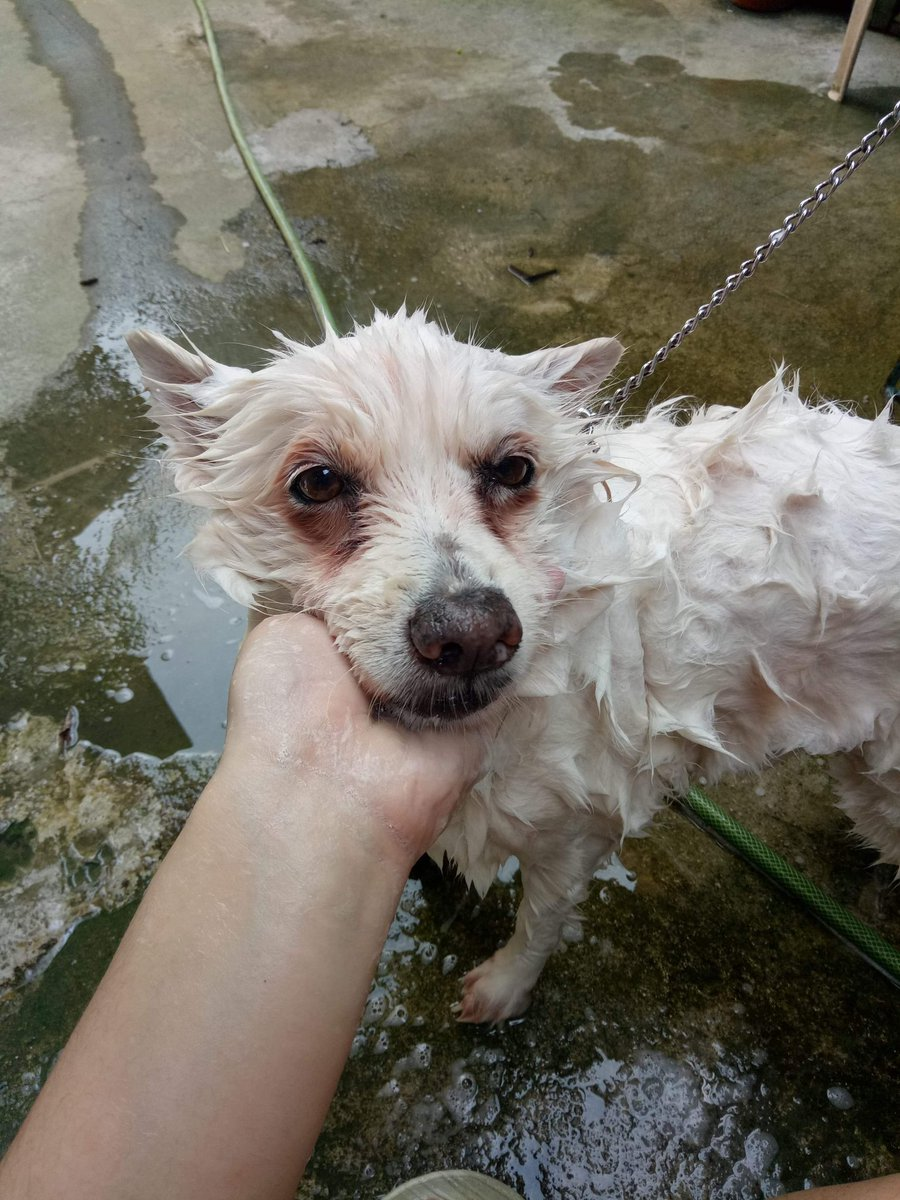 old pic pic of dog during and after bath... displeased