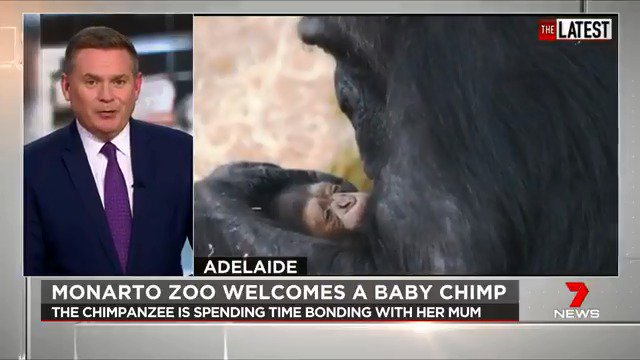 Adelaide's Monarto Zoo has welcomed a healthy baby chimpanzee. The baby's mother, Hannah, arrived from Sydney's @tarongazoo last year to join Monarto's breeding program. #TheLatest  #7News