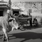 Image for the Tweet beginning: Sacred cow (literally) on this