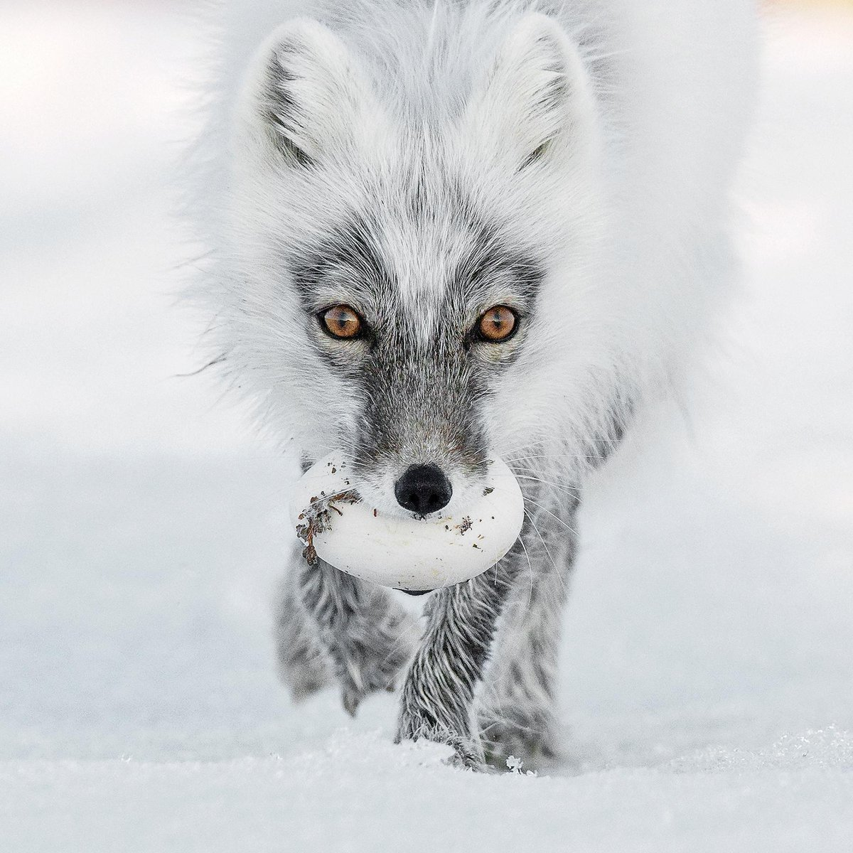"""""""Arctic foxes will steal and hide snow goose eggs deep in the snow of Wrangel Island, Russia. The frozen eggs can last up to a year in the snow, just enough time for a growing baby fox to find an egg-cellent spring snack."""" 🥚 📷+ text by Sergey Gorshkov"""