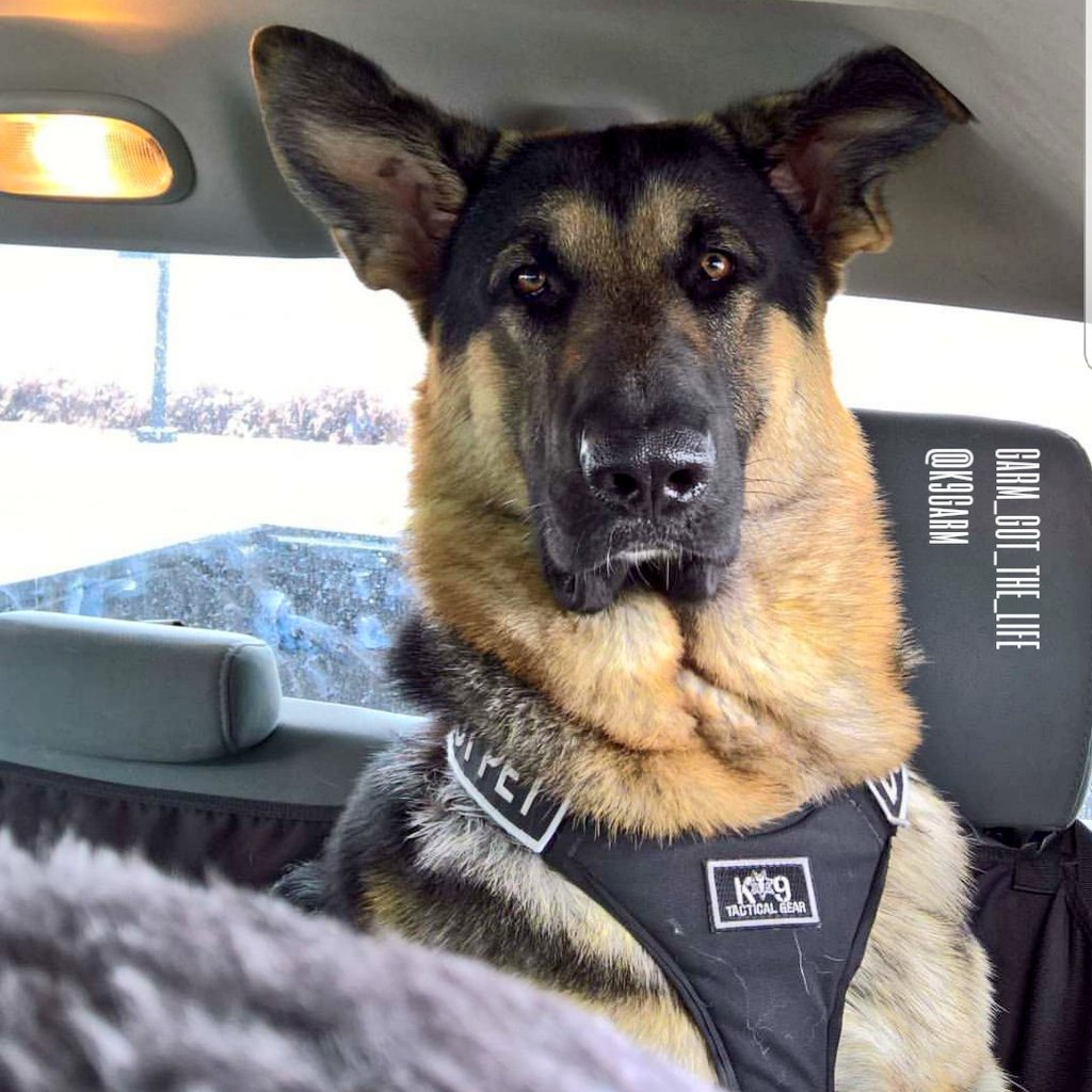 #ThrowBackThursdsy to #moosedog at just a year old in the backseat of my full size RAM pickup. Yes, that&#39;s drool and nose prints on the back window #MoosedogProblems  #K9Garm #SARK9 #dogsoftwitter #dog #dogs #germanshepherd #gsd<br>http://pic.twitter.com/dgJWjiGjud