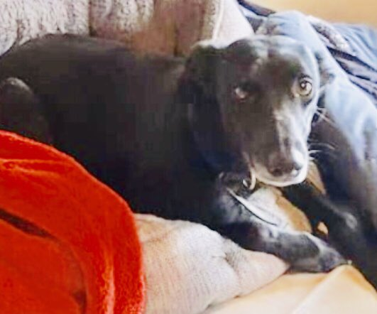 PLS RT - LOST DOG - female  WHIPPET xbreed, Daisy - missing from North End, Newbury, Berkshire RG20 - pls ring 07968 209298 if you see her #lostdog #newbury #Berkshire #RG20 #help #whippet #MissingDog #northend<br>http://pic.twitter.com/it684BKFhz
