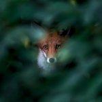 Hast du dich auch schon mal beobachtet gefühlt? 🦊 Hier findest du Tipps zur Naturfotografie in der Stadt: https://t.co/Eu9qJSpgf8 📷 Ossi Saarinen 📷Kamera: Canon EOS 6D