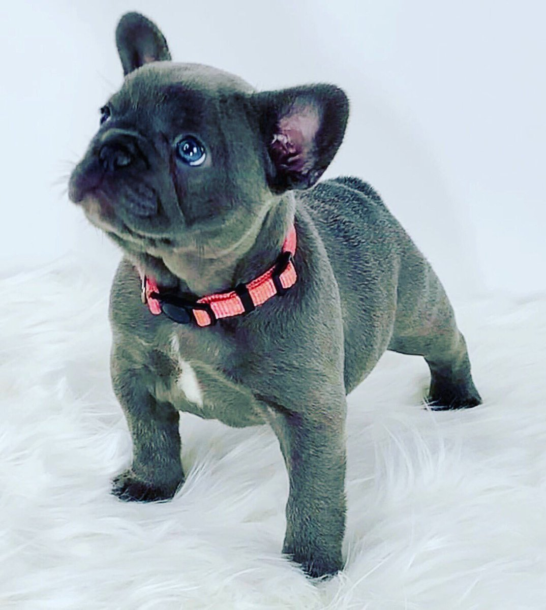 Just a perfect little girl!  @oakleybfrenchie #Frenchie #frenchbulldog #frenchbulldogs #dog #DogLover #dogsofinstagram #puppy #Puppies #puppylove #CutePuppies #cutebaby #animals #Bulldogs #bulldog #Adorable #cute #CutenessOverload #perfect @itsdougthepug<br>http://pic.twitter.com/azXvAnnBfH