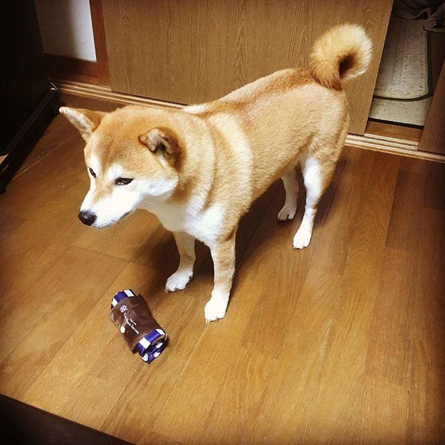またエコバッグ取ってる……。 #柴犬 #しばいぬ #dog #shibainu #泥棒犬 http://bit.ly/2SrL55Jpic.twitter.com/vqU57loLAI