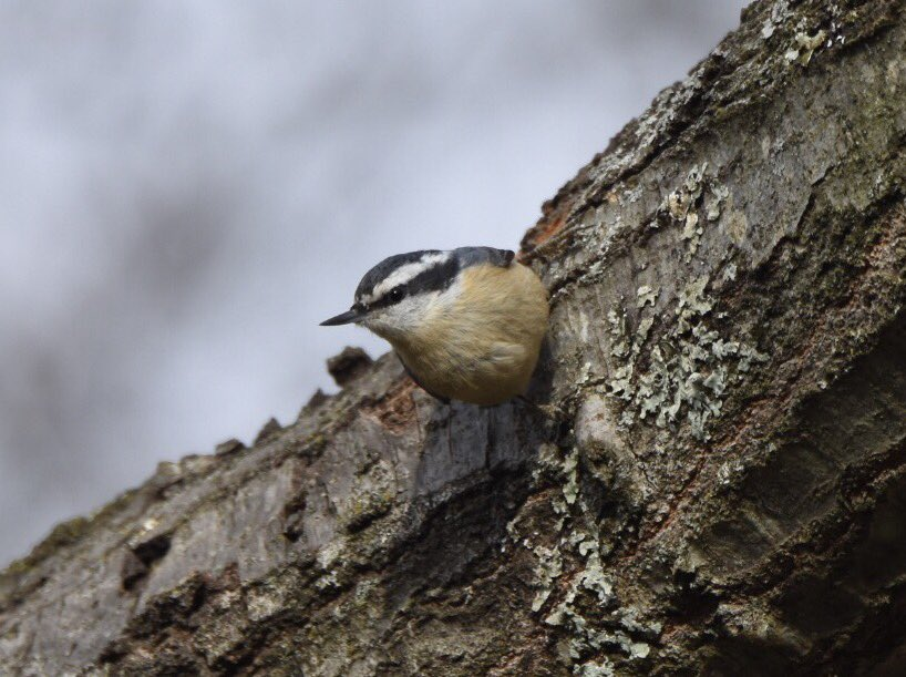 And got a few nice shots of the Red-breasted Nuthatch that has taken up residence in my backyard.