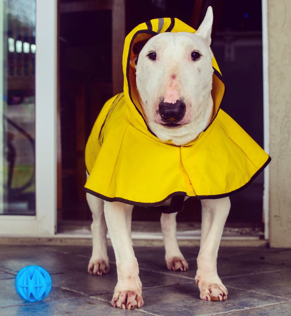 The brief moment when you step outside and think about going for a pee while it's raining and then... nope, I'll go back inside   . . . #dogsoftwitter #dogsofinstagram #bullterrier #bullies #bullterriers #puppers #puppy #dogs #dog #dogtravel #traveldog #dogfriendly #dogmodel<br>http://pic.twitter.com/OuYziAPXV1