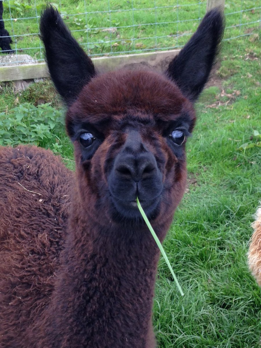 Bingfield Alpacas's photo on #MondayBlues