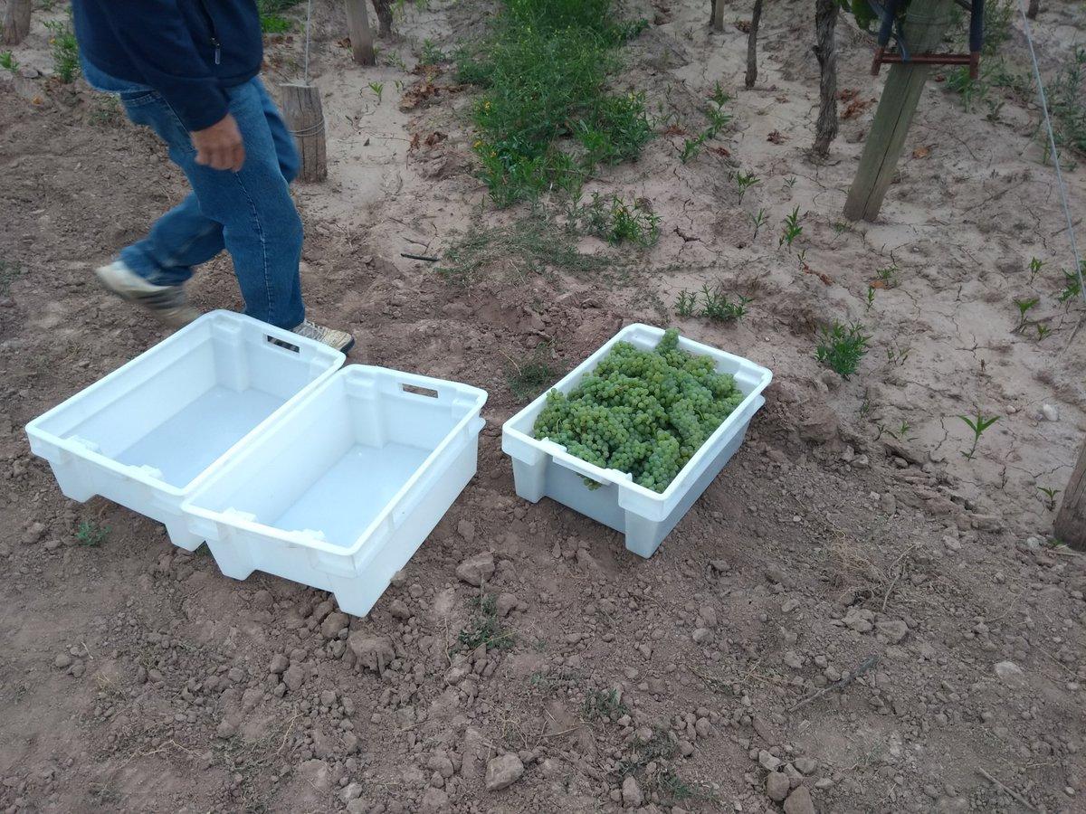Primer tacho 2019! Chardonnay #Nuna #OrganicWine