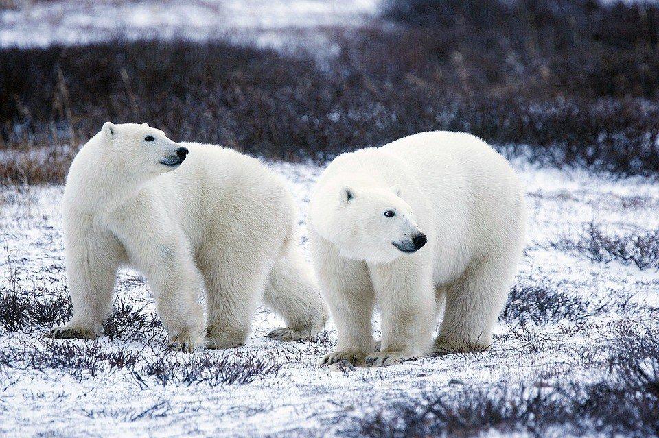 #Russie : la Nouvelle-Zemble envahie par des ours polaires affamés https://t.co/Ui5qJqpY1z