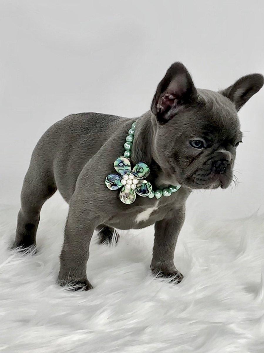 Happy Monday Everyone  @oakleybfrenchie @frenchbulldogwd #bluebayoufrenchbulldogs #bluefrenchie #bluefrenchbulldog #bluefrenchbulldogs #frenchie #frenchiesofinstagram #frenchies #frenchbulldog #frenchbulldogs #lovefrenchies #frenchbulldogstyle #puppy #puppies<br>http://pic.twitter.com/8jRgoKMR5p