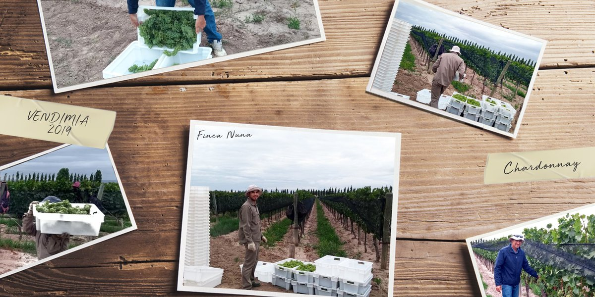 #ArrancamosLaVendimia 🍇  Comenzamos la cosecha del chardonnay que utilizamos para nuestro Nuna Espumante. Estas uvas se cosechan antes para obtener mayor acidez y menos alcohol potencial. Luego, serán cosechadas para nuestro White Blend. 💪