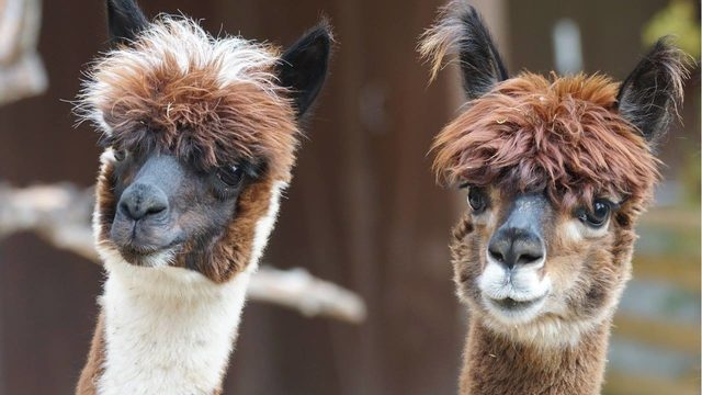 #Ohio officials tell family to send pet #alpacas packing | Find out why: https://t.co/itjCFt6o7Y