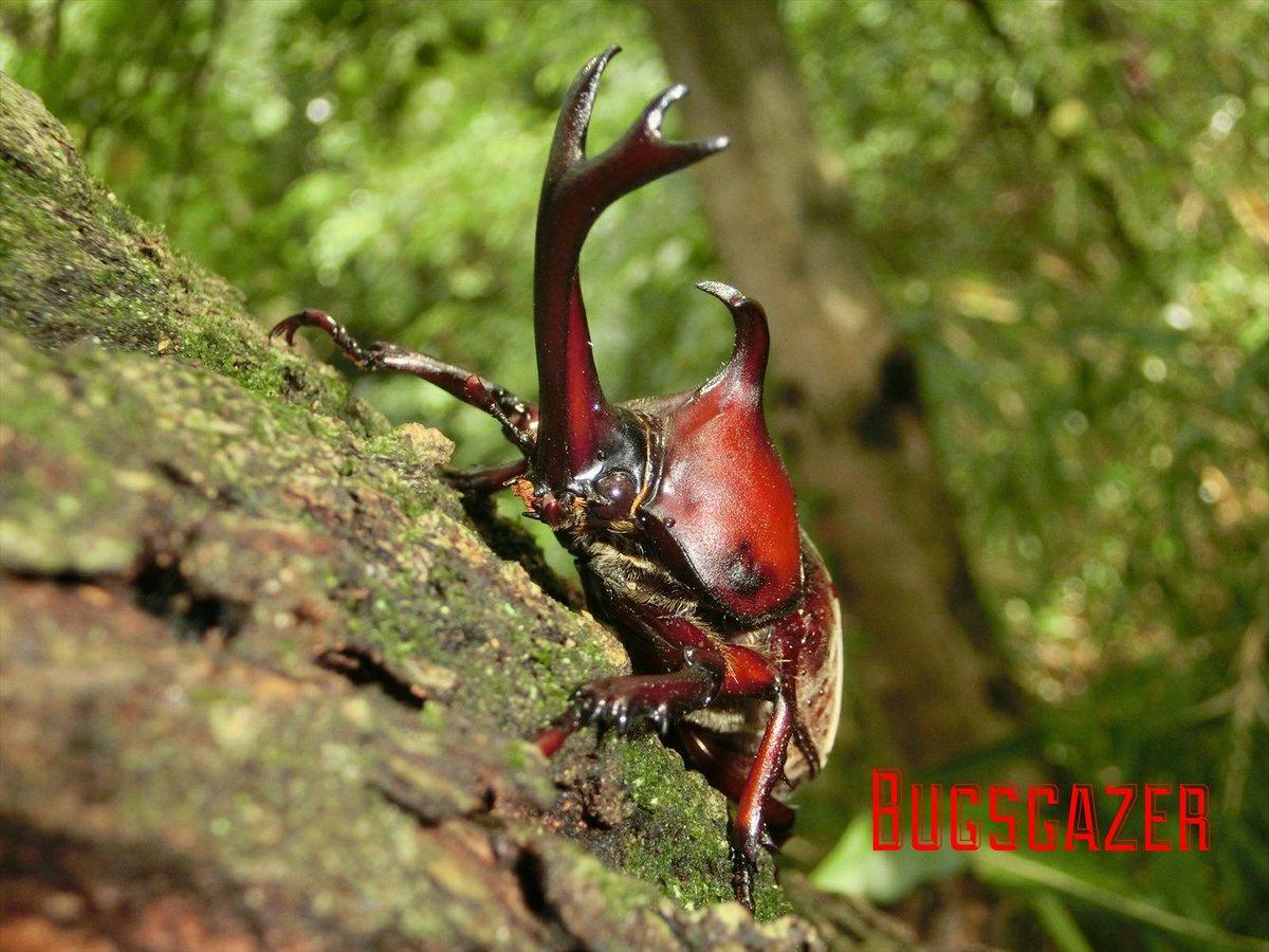 bugs_gazer's photo on カブトムシ