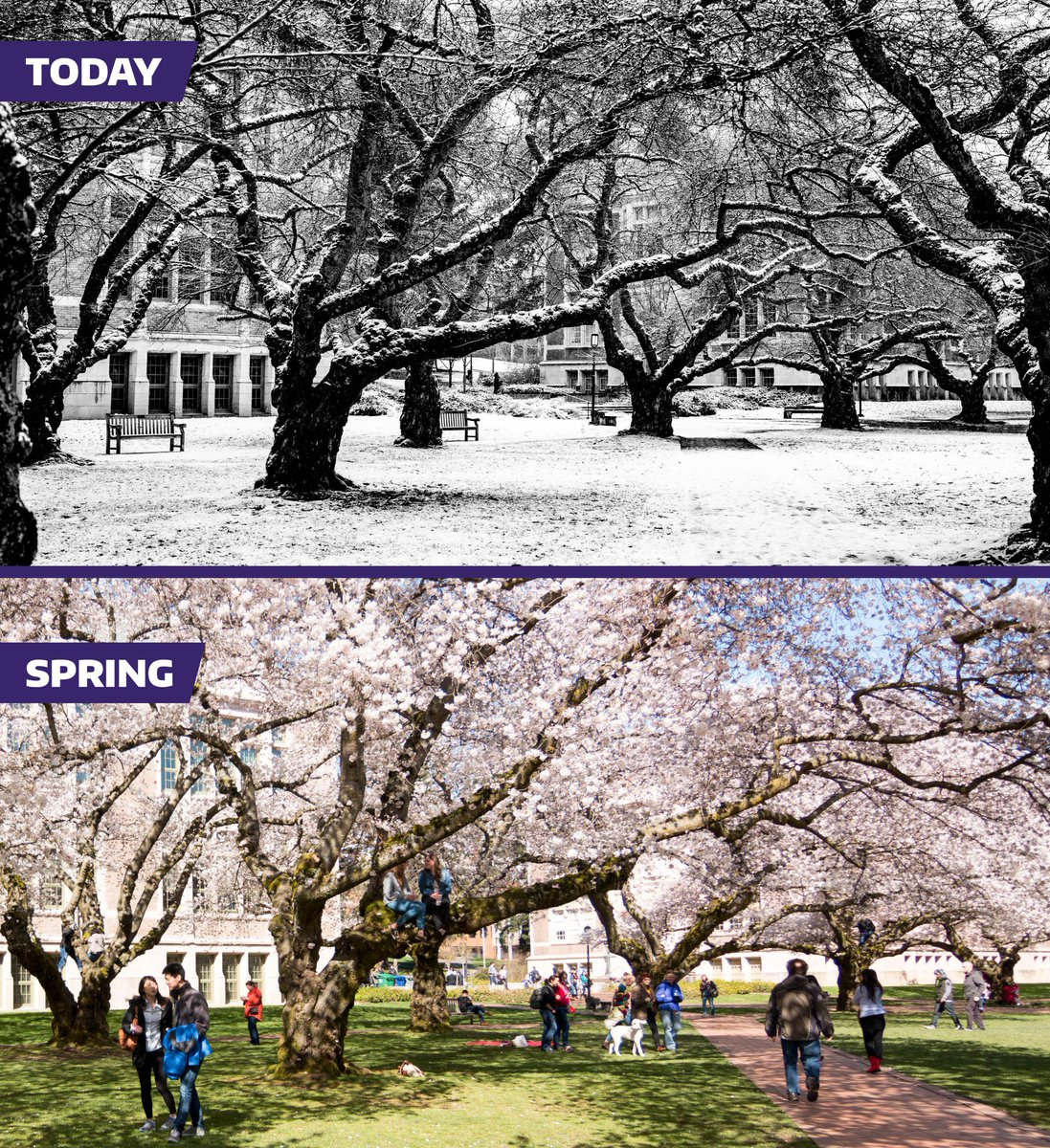Even with all the snow, we haven&#39;t forgotten about the official @UW Cherry Blossom Watch! We&#39;re working on getting you the best info possible, hopefully by next week.  Also, a PSA: Please don&#39;t climb on the @uwcherryblossom trees.   #seattlesnow #wawx #youW<br>http://pic.twitter.com/8BvXyHt4Ob