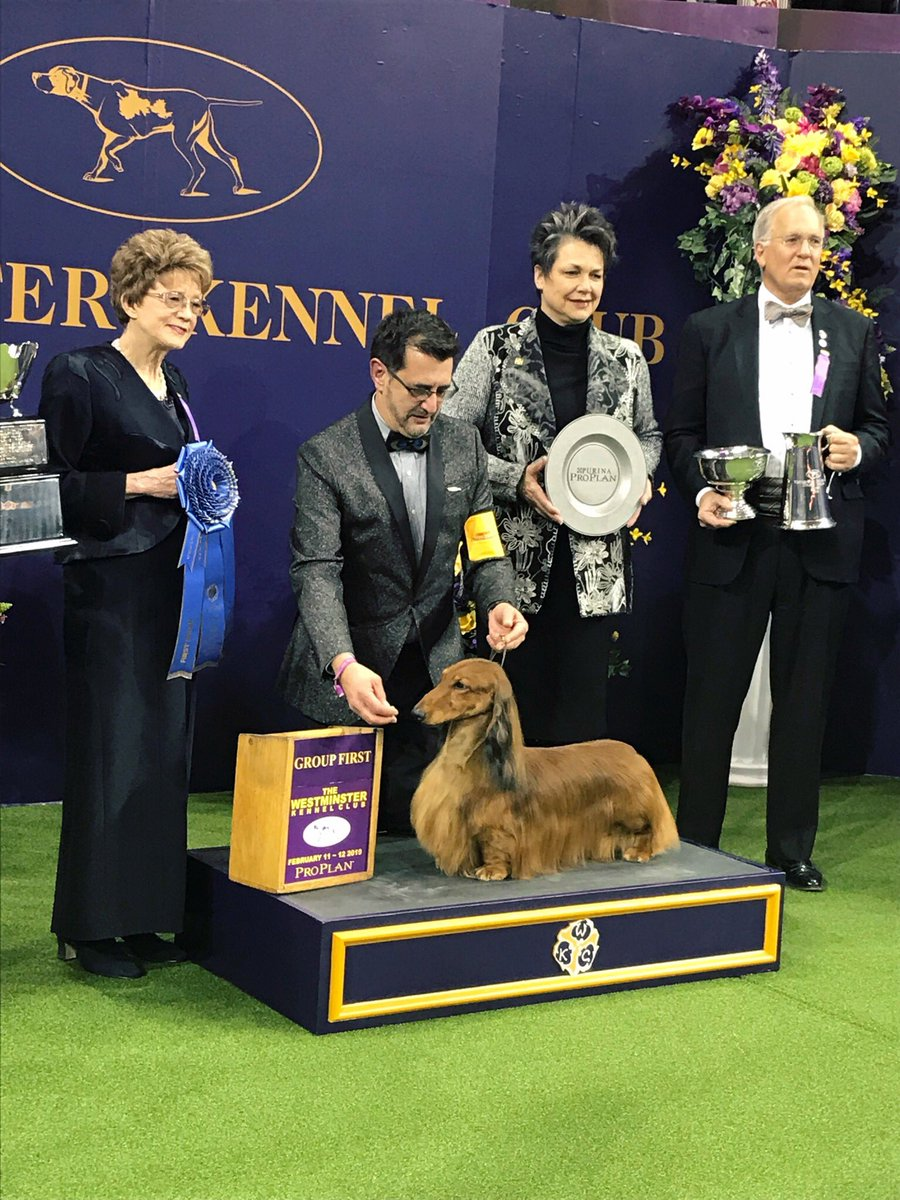 The winner of the #Hound Group is Burns the Longhaired Dachshund! #WKCDogShow