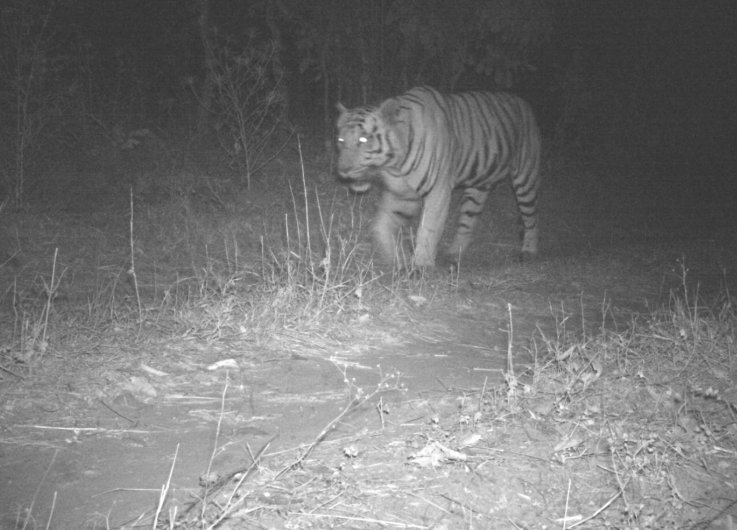 Tiger in Central Gujarat tried to attack cattle