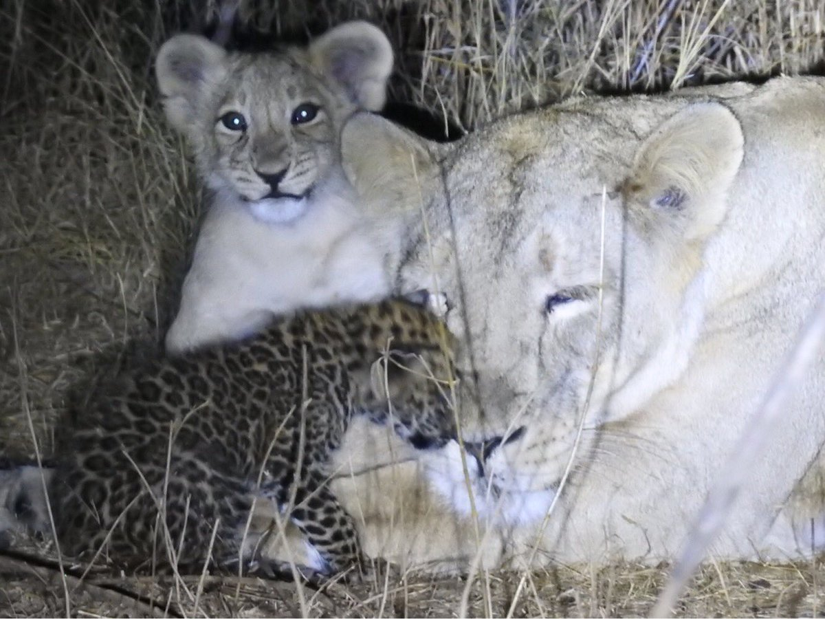 Leopard cub under care of lion family for last one and half month dies in Gir forest