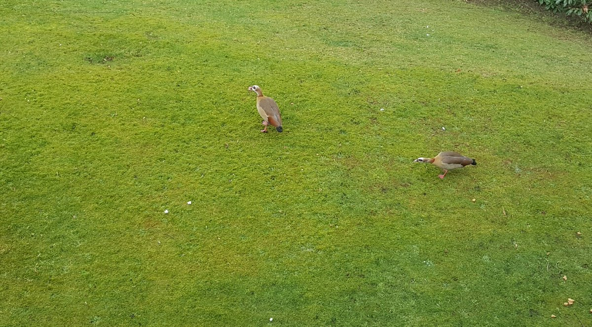 The Egyptian geese are back! These pair have been visiting our garden for the last 6 years or so.