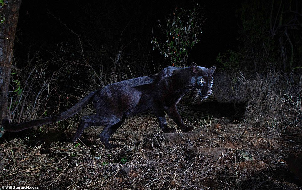 PICTURED: Ultra-rare black leopard is caught on camera for the first time in 100 YEARS in Africa  https://t.co/nxpBxaCHbG