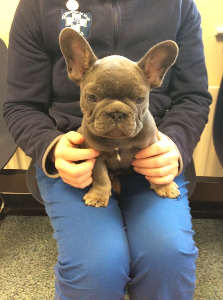 Meet Bear! He&#39;s only 8 weeks old and cute as a button!  #Frenchie #FrenchBulldog #puppies<br>http://pic.twitter.com/tCQlrGOjaE