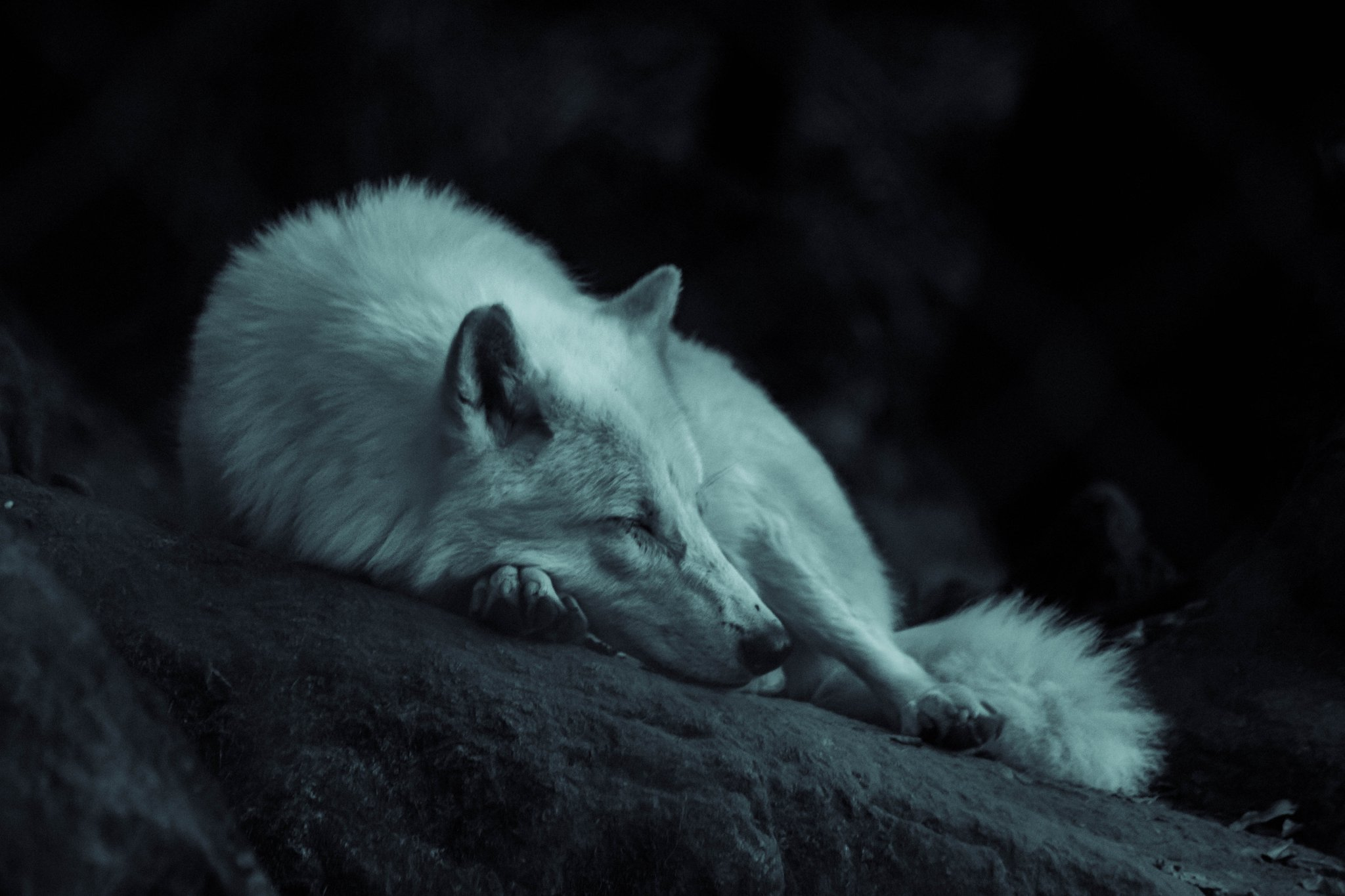 картинки белых волков ночью при его дефиците